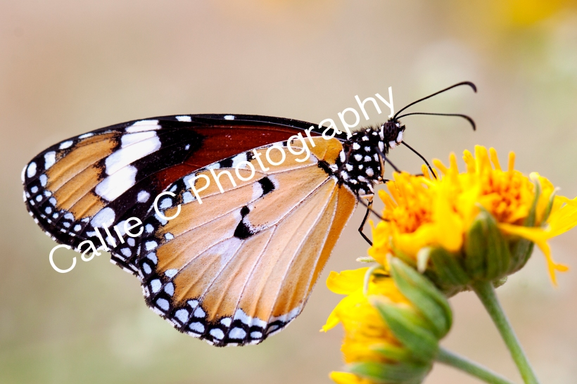 butterflies_1454
