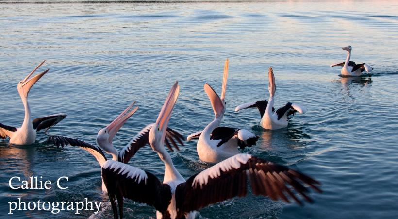 pelicans catching fish_2349