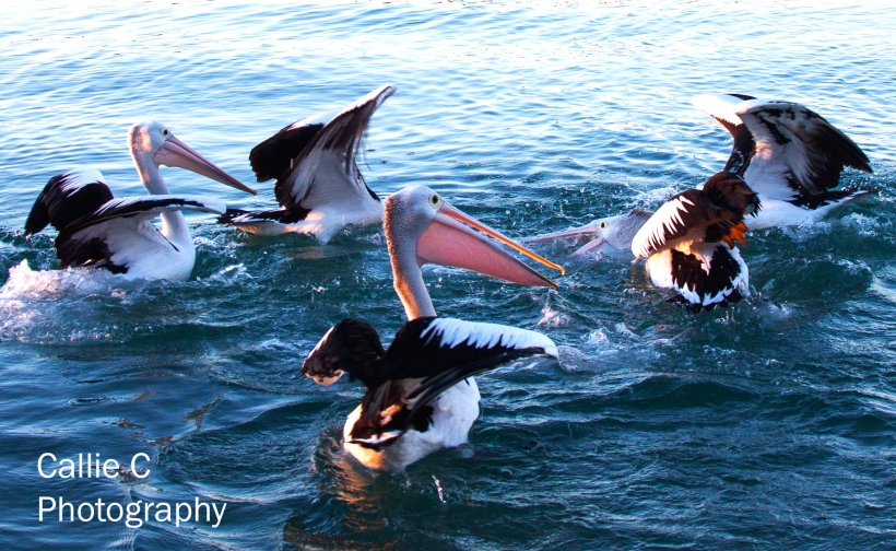pelicans catching fish_2352