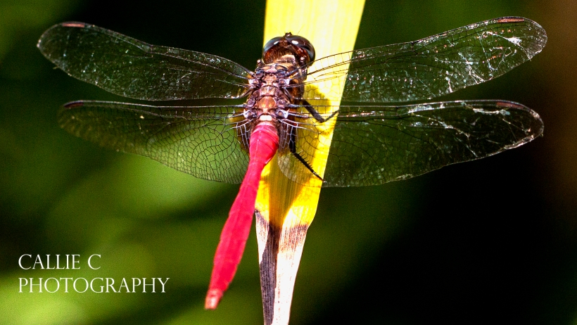 dragon flies_1503_8231