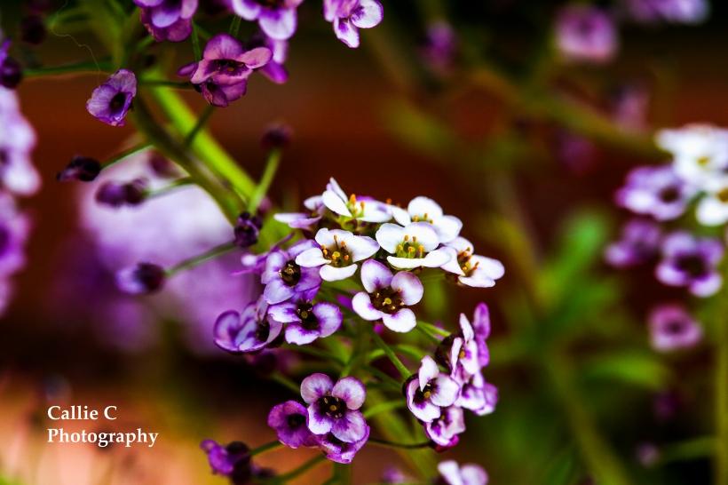 flowers_2308_2413