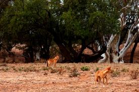 wild dingos